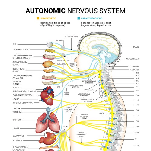 Chiropractic design with the title 'Autonomic Nervous System Poster'