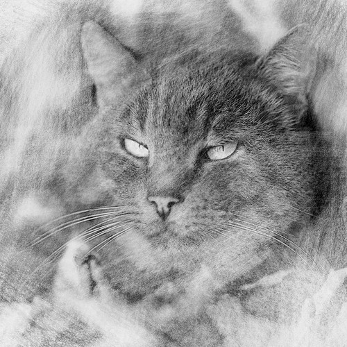 Pencil drawing design with the title 'Black and white pencil drawing cat'