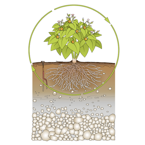 Botanical artwork with the title 'Infographic Healthy Plant Growth'