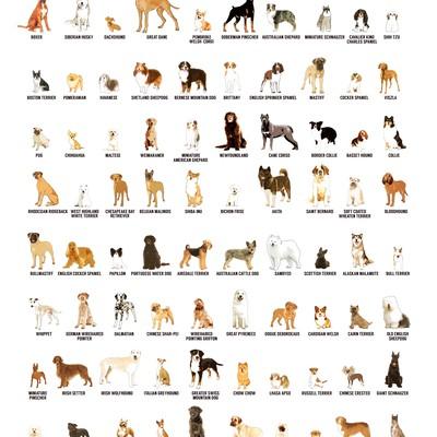 100种最受欢迎的狗