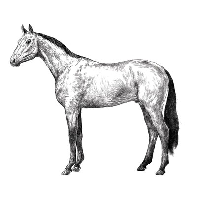 Horse drawing