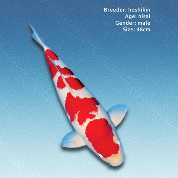 Koi design with the title 'Koi advert'