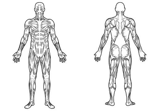 full body muscle diagram for professional massage charting ... simple full body diagram kidneys full body diagram #3