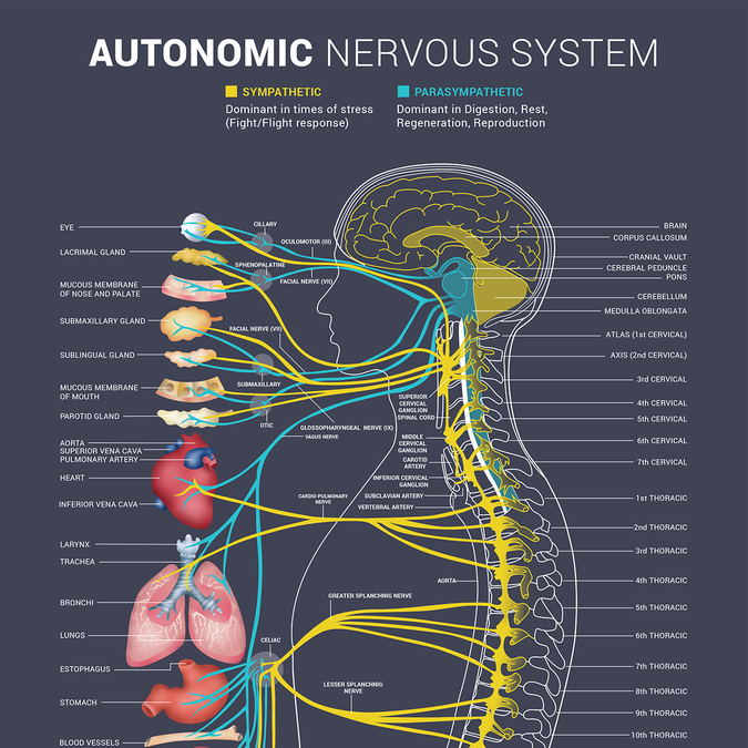 Bring our autonomic nervous system to life! | Poster contest