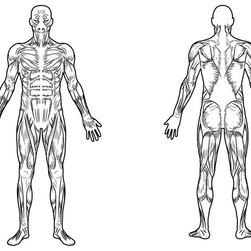 Full Body Muscle Diagram For Professional Massage Charting